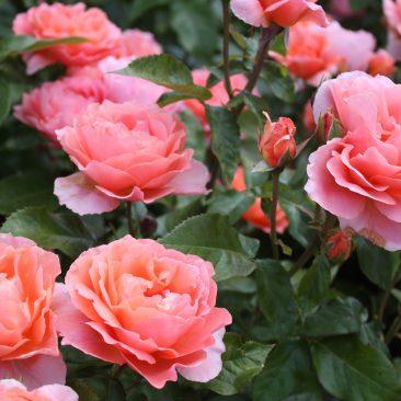 rose-1599721_1920